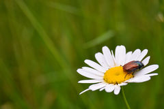 Wild camomile and beetle sitting on it Stock Photography