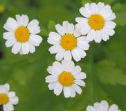 Wild camomile Royalty Free Stock Photography