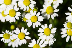 Wild camomile or chamomile or ox-eye daisy meadow flowers top view background. Royalty Free Stock Photography
