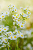 Wild camomile daisy flowers growing on green meadow. Royalty Free Stock Images