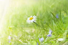 Wild camomile flower on sunny meadow in grass Royalty Free Stock Photo