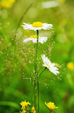 Wild camomile flowers Royalty Free Stock Image