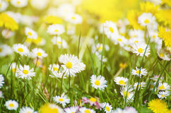 Wild camomile flowers Royalty Free Stock Images