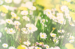 Wild camomile flowers Royalty Free Stock Photo