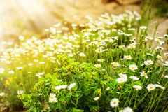 Wild camomile flowers growing on green meadow Royalty Free Stock Images