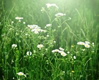 Wild camomile flowers Royalty Free Stock Photos