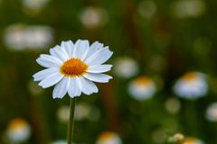 Wild camomile flowers growing on the meadow Royalty Free Stock Image