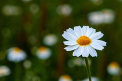 Wild camomile flowers growing on the meadow Stock Photos