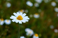 Wild camomile flowers growing on the meadow Stock Photography