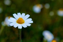 Wild camomile flowers growing on the meadow Royalty Free Stock Photography