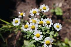 Wild chamomile growing and blooming during summertime royalty free stock photos