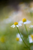 Wild camomile - Matricaria chamomilla - in the field Royalty Free Stock Image