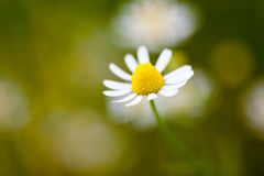 Wild camomile - Matricaria chamomilla - in the field. With natural background stock image