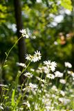 Wild camomile Matricaria chamomilla in the field Royalty Free Stock Image