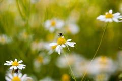 Wild camomile Matricaria chamomilla in the field Stock Photography