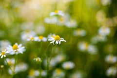 Wild camomile Matricaria chamomilla in the field Royalty Free Stock Images
