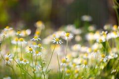 Wild camomile Matricaria chamomilla in the field Stock Images