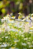 Wild camomile Matricaria chamomilla in the field Stock Photo