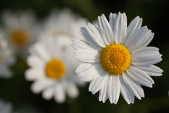 Wild camomile in sunny day. Flower of wild camomile with some blurred flowers in background. Top view Royalty Free Stock Photos