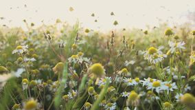 Wild camomile tea slow push in. Video of wild camomile tea slow push in stock footage