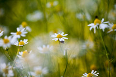 Wild camomile (Matricaria chamomilla) in the field Royalty Free Stock Image