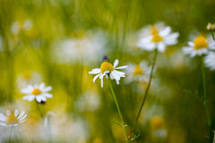 Wild camomile (Matricaria chamomilla) in the field with natural background Stock Images