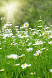 Wild camomiles in the green grass Stock Photography