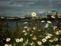 Wild camomiles in industrial landscape Royalty Free Stock Images