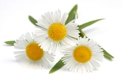 Wild camomiles over white Royalty Free Stock Photo