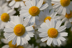 Wild camomiles in sunny day. Some flowers of wild camomiles. Top view Royalty Free Stock Photo