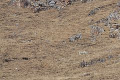 WILD Camouflaged Snow Leopard Panthera Uncia in Tibet resting on a mountain side.  Royalty Free Stock Photo