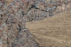 WILD Camouflaged Snow Leopard Panthera Uncia in Tibet resting on a mountain side.  Stock Photography