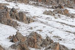 WILD Camouflaged Snow Leopard Panthera Uncia in Tibet walking on a mountain side.  Stock Photography