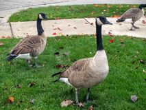 Wild canada geese birds. Stock Images