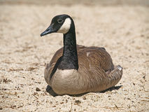 Wild Canada Goose(Branta Canadensis) Royalty Free Stock Photo