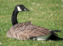Wild Canada Goose(Branta Canadensis) Royalty Free Stock Photos