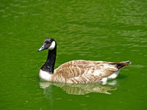 Wild Canada Goose Swimming on Green Water Royalty Free Stock Photo