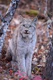 Wild Canada Lynx. Lynx in a Northern Ontario forest Royalty Free Stock Photography