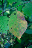 Wild Canada Plum Leaf Starting to Show Fall Color Stock Photography
