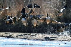 Wild Canadian geese stock image