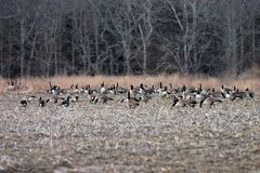 Wild Canadian Geese In Corn Feild. Canadian Geese in a cut corn field Stock Photography