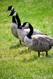 Wild Canadian Geese in Meadow. Three geese waddle across a field in Canada Stock Photography