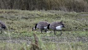 Wild Canadian geese standing in the grass in group stock video