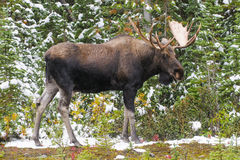 Wild Canadian Moose (Alces Alces) Royalty Free Stock Photo