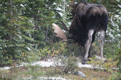Wild Canadian Moose (Alces alces) Stock Image