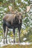 Wild Canadian Moose (Alces alces) Stock Photo