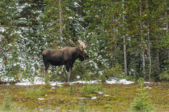 Wild Canadian Moose (Alces alces) Stock Photos