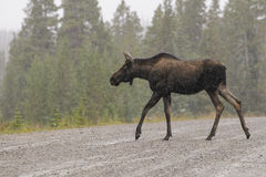 Wild Canadian Moose (Alces alces) Royalty Free Stock Photos