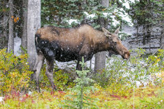 Wild Canadian Moose (Alces alces) Stock Photo