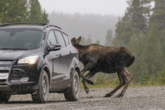 Wild Canadian Moose (Alces alces) Stock Photography